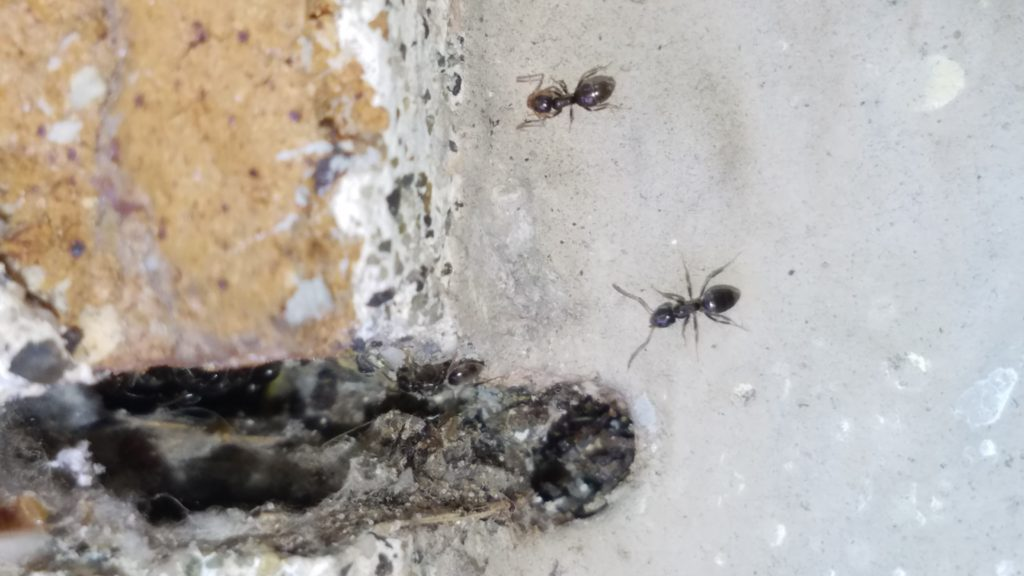 How To Get Rid Of Little Black Ants Diy Sugar Ant